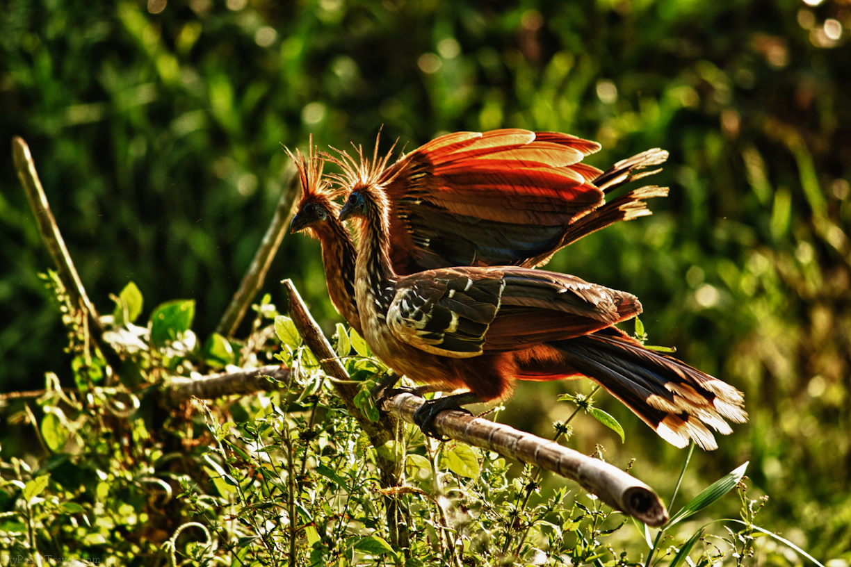 Friday Snapshot: The Hoatzin