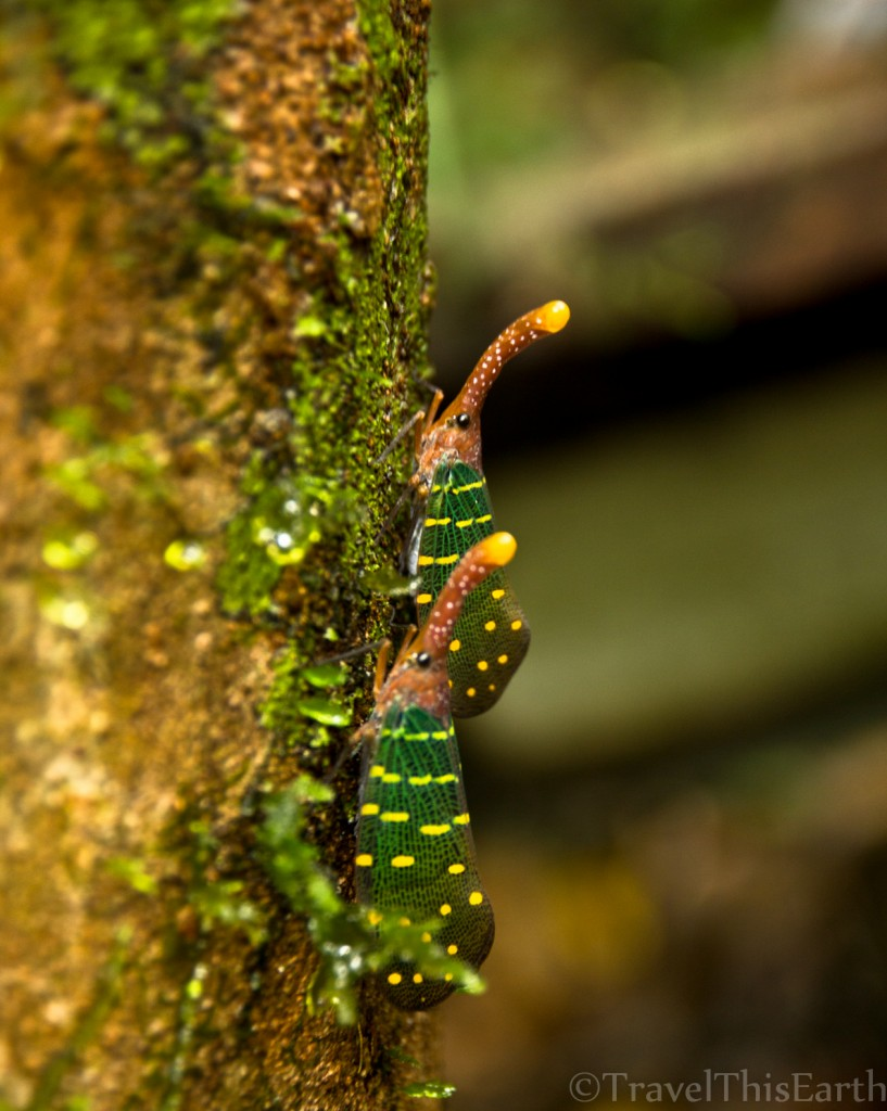 Friday Snapshot: Lantern fly found at Mulu National Park, Malaysia Borneo