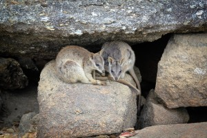 Up close with Rock wallabies at Granite Gorge