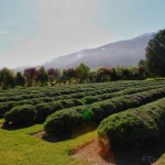 Kaikoura Lavender Farm: Botanical Treasures